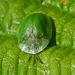 Green Tortoise Beetle (Cassida viridis)