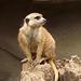 Meerkat Lookout