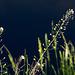 20140503 2495VRAw [D~HVL] Hirtentäschelkraut (Capsella bursa-pastoris)