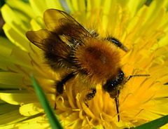 Bee, Common Carder
