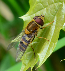 Hoverfly, genus Syrphus