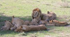 Famille de lions dans la région de Ndutu