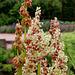 Rheum undulatum -Rhubarbe à feuilles ondulées