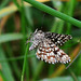 Latticed Heath Chiasmia Clathrata Moth