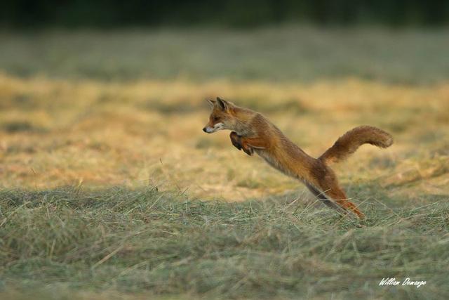 Jeune renard au mulotage (chasse aux campagnols)