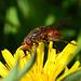 Rhingia Campestris Hoverfly