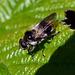 Hoverfly  Cheilosia illustrata
