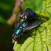 Greenbottle Flies - Lucilia sericata (Meigen) (Insecta: Diptera: Calliphoridae) propagating the species.