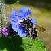 Maybe Black Honeybee ?