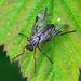 Rhagio tringarius / Rhagio scolopacea - Fam: snipe flies (Rhagionidae)