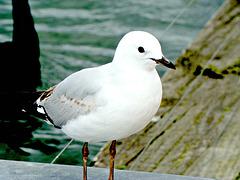 A Gull on Rotorua Wharf