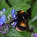 Queen Buff Tailed Bumble Bee - Bombus terrestris?