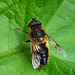 Drone Fly Eristalis pertinax Hoverfly