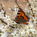 Small Tortoiseshell Butterfly on Blackthorn blossom