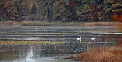 Swans @ Big Marsh