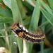 Drinker Moth - Euthrix potatoria