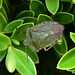 Palomena prasina - Common Green Shieldbug - Family: Pentatomidae