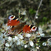 Peacock Butterfly on Blackthorn