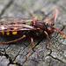 Waspy Fly Thingy  (checking)