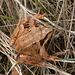 Common Frog - Rana temporaria with slug attached