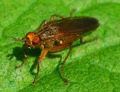 Dung Fly, Scathophagidae