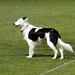 Border Collie Shep  (Jacob & Fern's Dog)