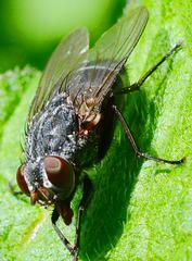 Bluebottle(blow-fly) Calliphora vomitoria