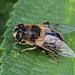 Hoverfly  Eristalis tenax - female