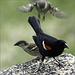 Mr. Blackbird and Friends