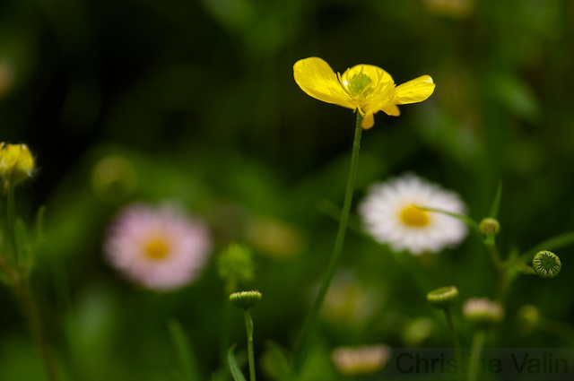 the buttercup