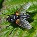 Muscidae, Mydaea corni