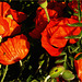 Klatschmohn / Red Poppy / Coquelicot