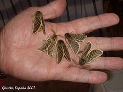 EsG13 A Handful of Lemonia philopalus