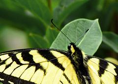 Tiger Swallowtail Closeup