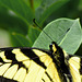 Tiger Swallowtail Closeup
