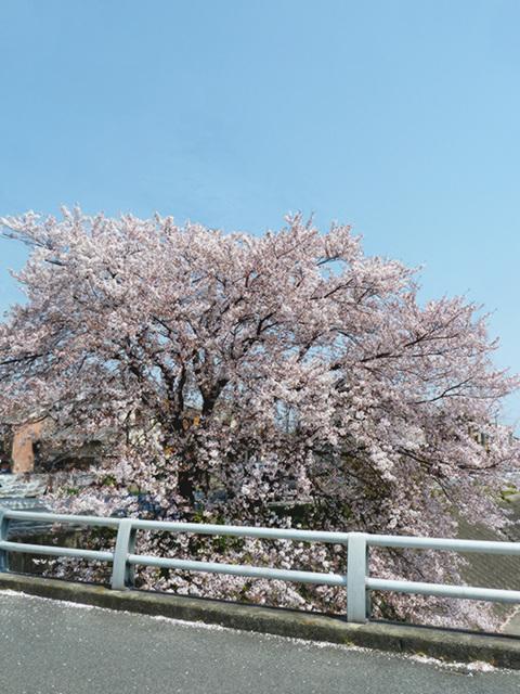 matusasaka sakura