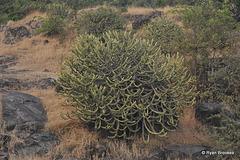 20120125-9424 Euphorbia neriifolia L.