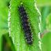 Small Tortoiseshell Caterpillar ?