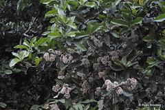 20120125-9502 Ixora brachiata Roxb.
