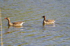 les étangs de la Dombes - l'étang Turlet