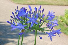 blua floro ĉevoje