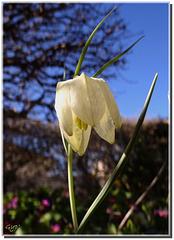 Fritillaria meleagris - forme blanche.