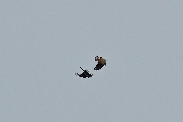 Buzzard v Raven
