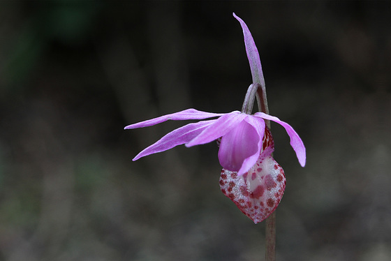 Calypso bulbosa var. occidentalis