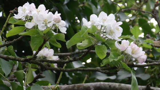 More of the apple blossom