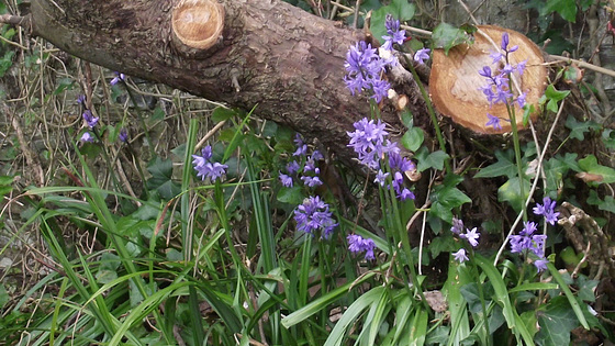 Bluebells are growing down the side of the drive against the old apple tree