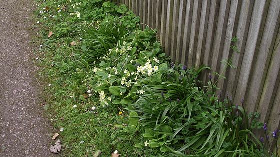 Large clumps of primroses are on the right hand side of the drive