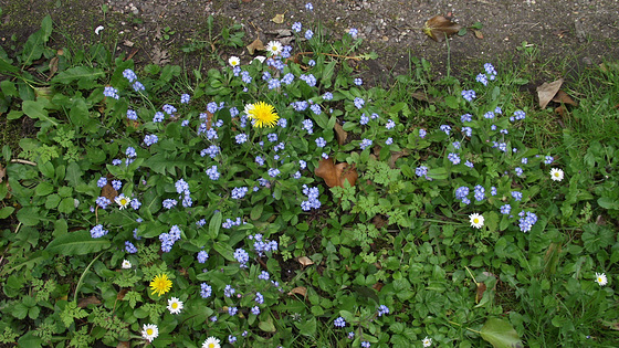 Forget me nots and daisies grace the middle of the drive