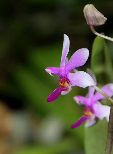 Phalaenopsis 'Anna-Larati Soekardi' x wilsonii
