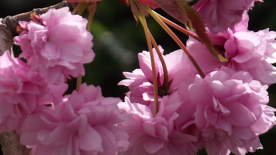My fluffy cherry blossom